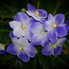 African Violet by Keith G. Hawley