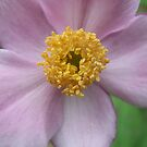 Pink Anemone by Tracy Faught