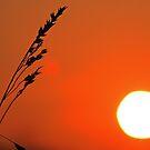 Wild Barley by Ciaran Sidwell