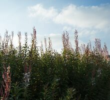 Rose Bay Willow Herb - Autumn by Ian Porter