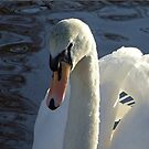 Mute Swan by Susan Dailey