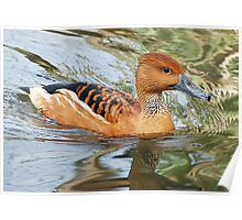 Fulvous Whistling Duck Poster