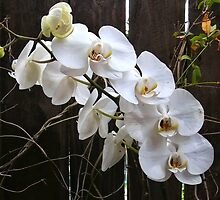White orchid near dark fence by hereswendy