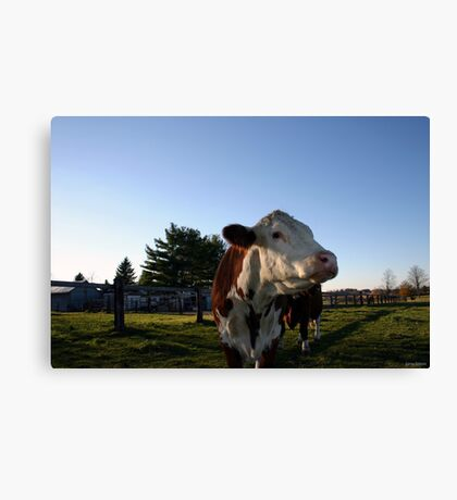 An Evening with Cows Canvas Print