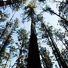 Sherbrooke Forest by Julie Shanahan