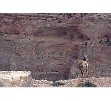 Bighorn Canyon Sheep Photographic Print