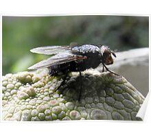 Blow Fly (Chrysomya megacephal) on Pseudolithos cubiformis Poster