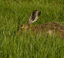 Hare in the grass. by sandyprints