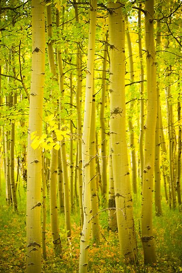 Autumn Aspens Vertical Image by Bo Insogna