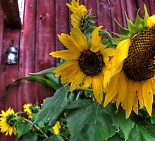 Autumn Sunflower by Matt Erickson