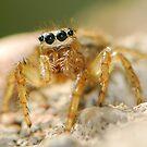Jump spider by davvi