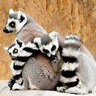 Ring-tailed Lemur huddle by dunawori