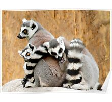 Ring-tailed Lemur huddle Poster