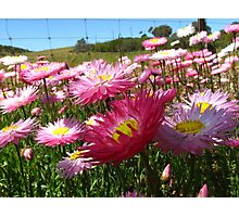 Pink everlastings Photographic Print