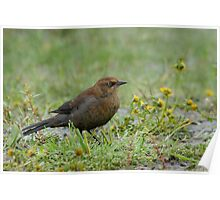 Rusty Blackbird showing its true colours. Poster