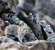 Rock Rabbit by Alyce Taylor