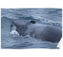 Diving Fin Backed Whale Poster