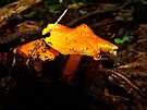 Fire in the Forest - Hygrocybe cuspidata by MotherNature