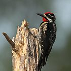 Yellow-bellied Sapsucker by Bill McMullen