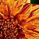 Showy dahlia by Celeste Mookherjee