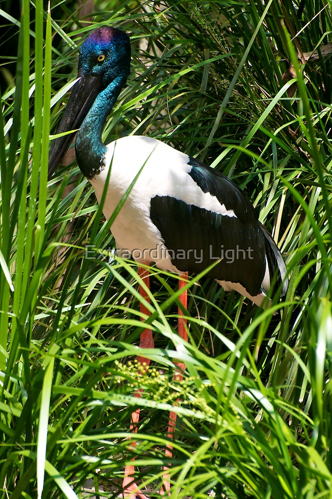 Jabiru by Renee Hubbard Fine Art Photography
