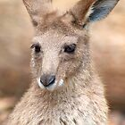 Eastern Grey Kangaroo by Renee Hubbard Fine Art Photography
