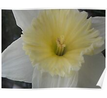 Pale Daff - daffodil Poster