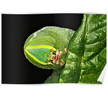 Hornworm (Manduca quinquemaculata ) Poster