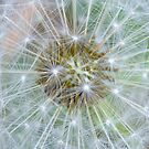 Seed Wishes by Glenda Williams