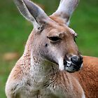 Red Kangaroo by Renee Hubbard Fine Art Photography