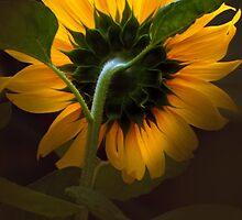 Sunflower5. by Baska