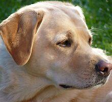 Pedigree Yellow Labrador Retriever by Anita  Fletcher