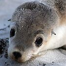 sea lion pup 2 - by Tessa by Janine Paris