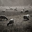 Light Sheep by ajgosling
