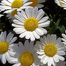 Smiling daisies in the sun by ambra2italy