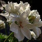 Geranium white after the rain by ambra2italy