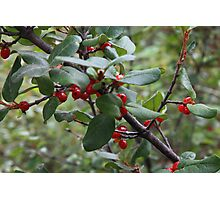 Lingonberry Photographic Print