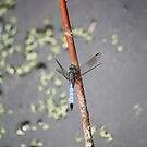 Blue Dasher by Linda Costello Hinchey