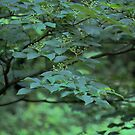Dogwood Cornus alternifolia  by Linda Costello Hinchey