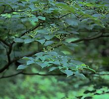 Dogwood Cornus alternifolia  by Linda Costello Hinchey