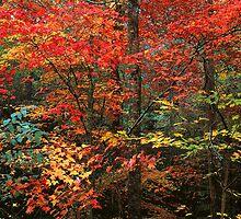 AUTUMN HARDWOOD FOREST by Chuck Wickham