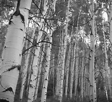 Aspen Grove by Ken Baugh