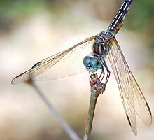 Dragonfly Close-Up  by cdfeag65202
