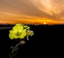 Evening Primrose, Morning Sun by Paul Madden