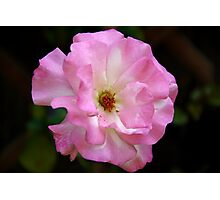 Rose of love  Photographic Print