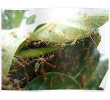 Green Ants making nest - Kennedy, North Queensland, Australia Poster