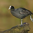 Eurasian Coot - Melbourne, October 2009 by Rob Drummond