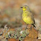 Gibberbird - Sturt National Park, April 2011 by Rob Drummond