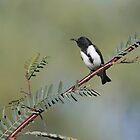 Black Honeyeater - Bladensberg National Park, July 2009 by Rob Drummond