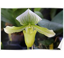 Green Orchid  Poster